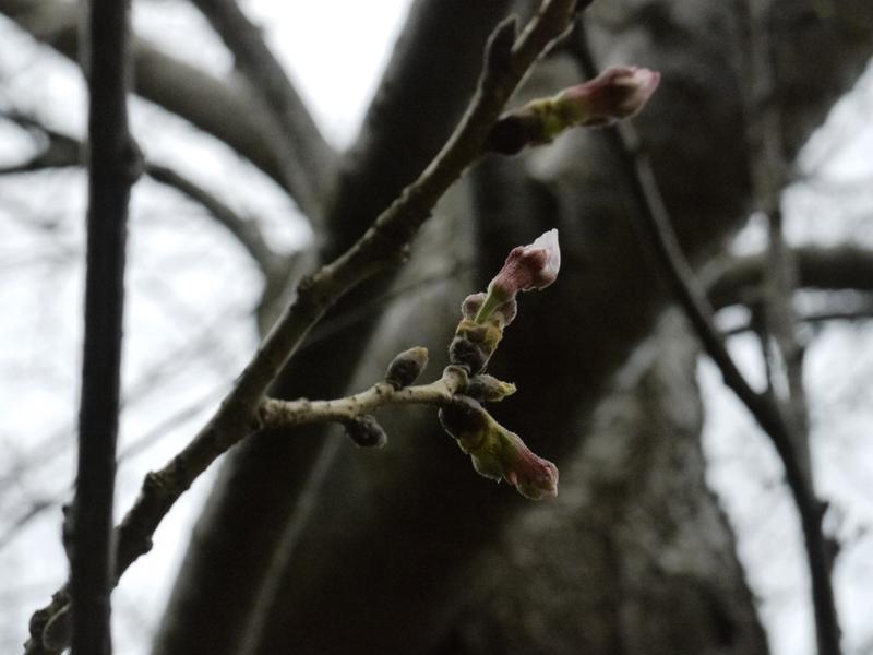Lansam werden die Blütenknospen größer und die ersten Kirschblüten sind schon zu sehen.