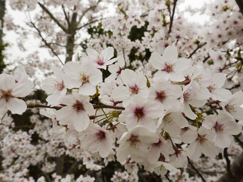 MARIMO_Sakura_Vollblüte_Kagoshima