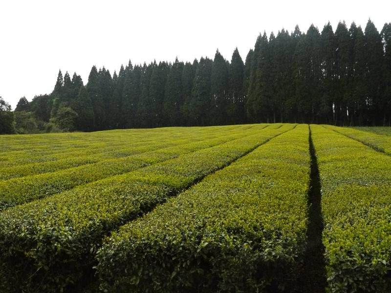 Miyama_Kirishima_Sencha_Teegarten