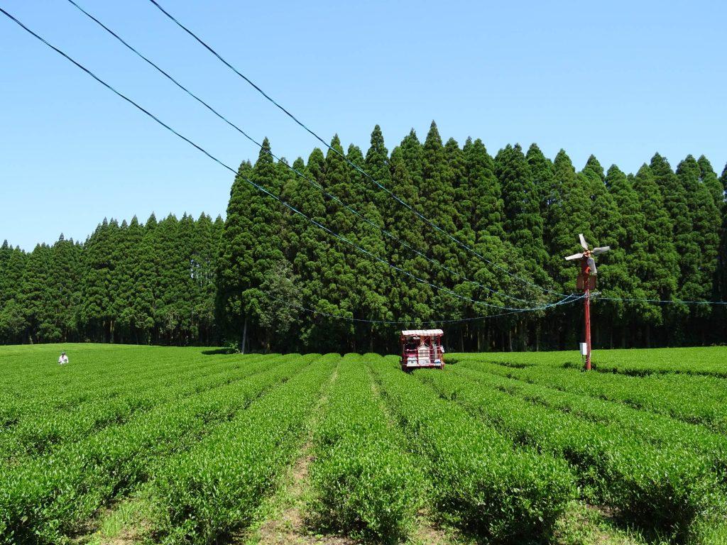 Junge Asanoka-Sträucher, Kirishima Teegarten von Shutaro