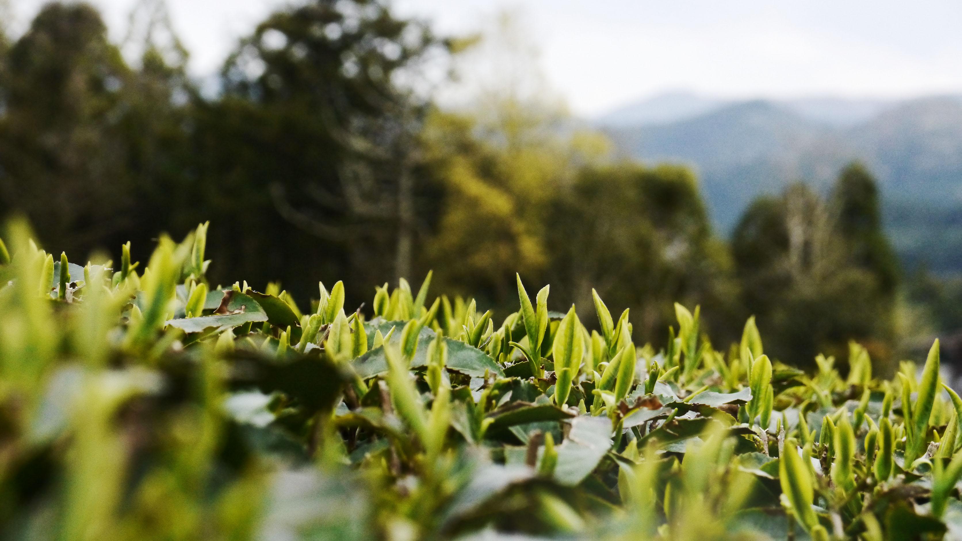 Teegarten von Iwao Hayashi in der Präfektur Mie