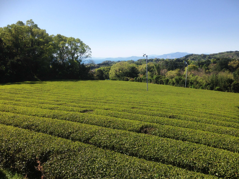 Die Teegartenparzelle, von dem die Blätter für den Shincha MOE stammen, fotografiert von Herrn Matsumoto am 14. April 2017