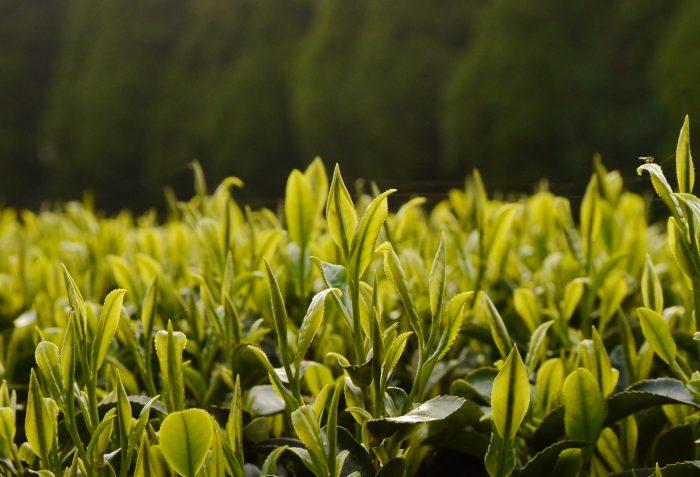 Sträucher gezogen aus Samen des Asatsuyu Cultivars