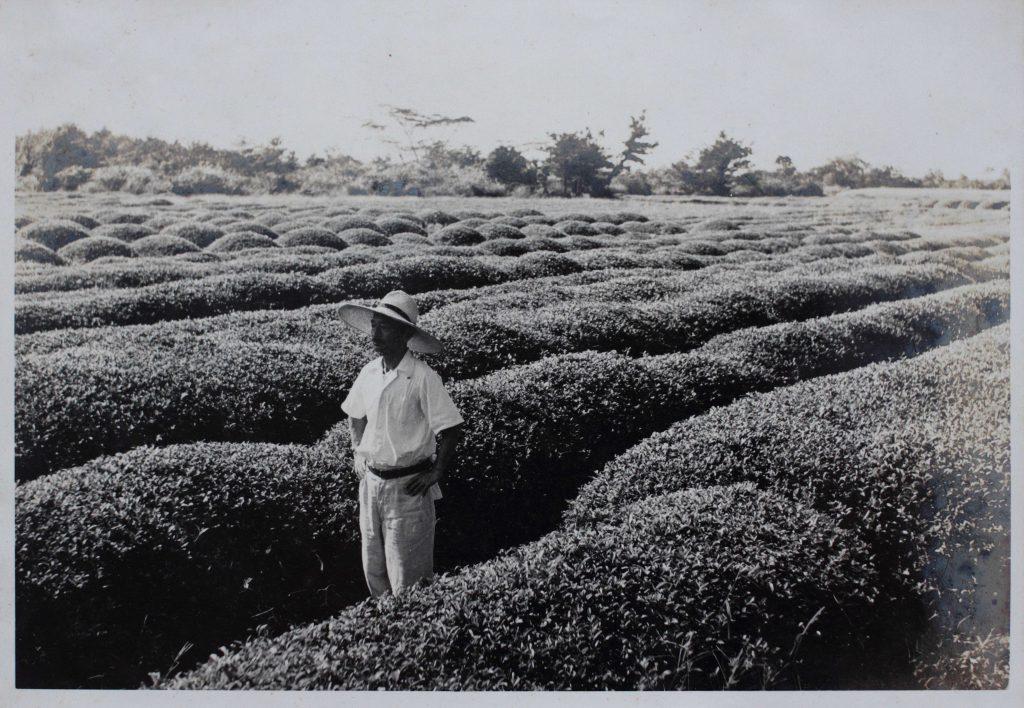 Ein historischer Anblick – Zairai-Teesträucher im Kirishima-Teegarten der Familie Hayashi