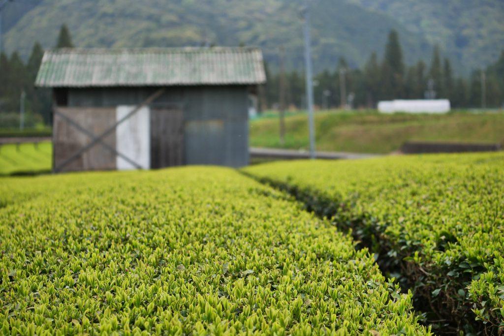 Von diesem Teefeld wird es bald eine neue Teesorte geben. Demnächst erfahrt ihr mehr darüber.