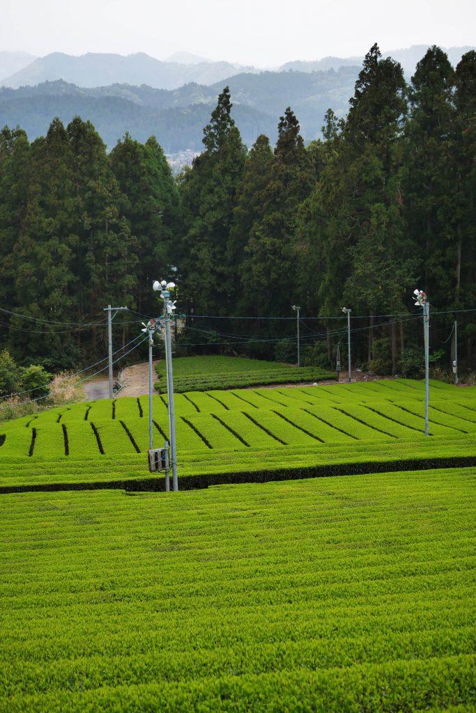Yabukita-Teegarten von Iwao und Kimihiko Hayashi