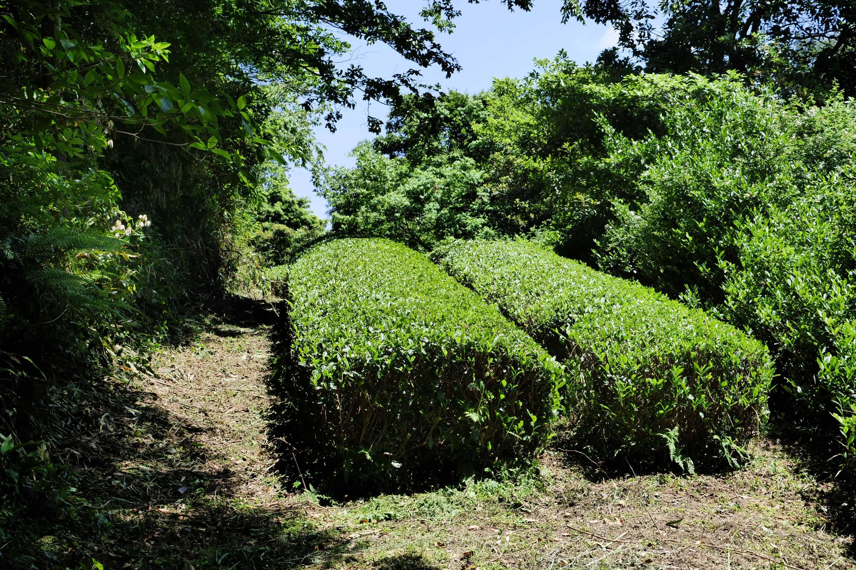 Kadotas Zwei-Reihen-Teegarten in der Nähe der Lage Arasaki