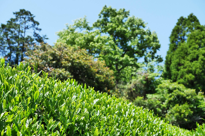 Kadotas Yabukita Teesträucher in der Lage Arasaki