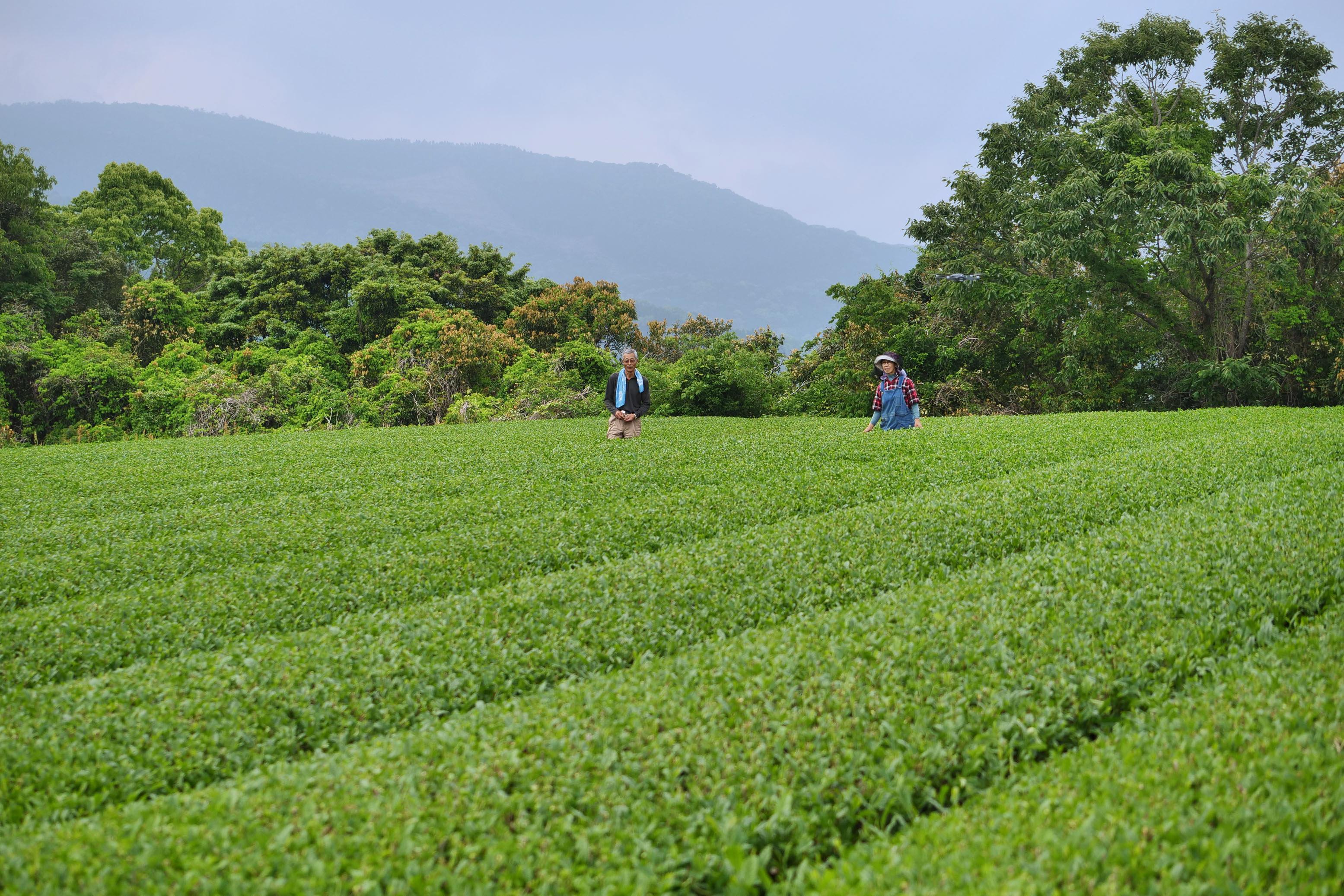 Teegartenparzelle in der Lage Makiuchiyama: Die Pflanzen der Varietät Yutaka Midori von diesem Standort bilden den Hauptteil des Morimoto Shincha 2019.