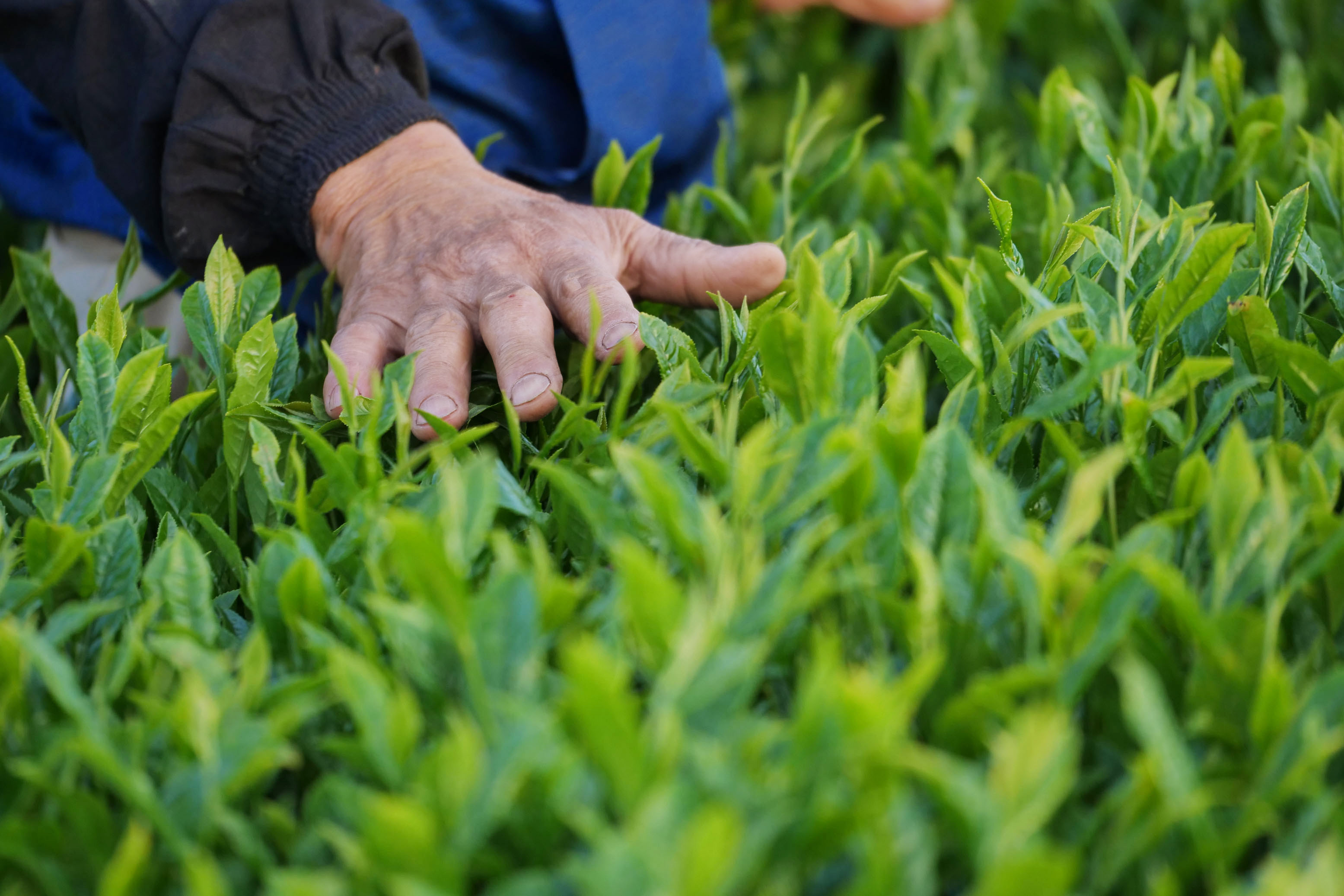 Shigeru Morimoto in seinem Teegarten kurz vor der Ernte