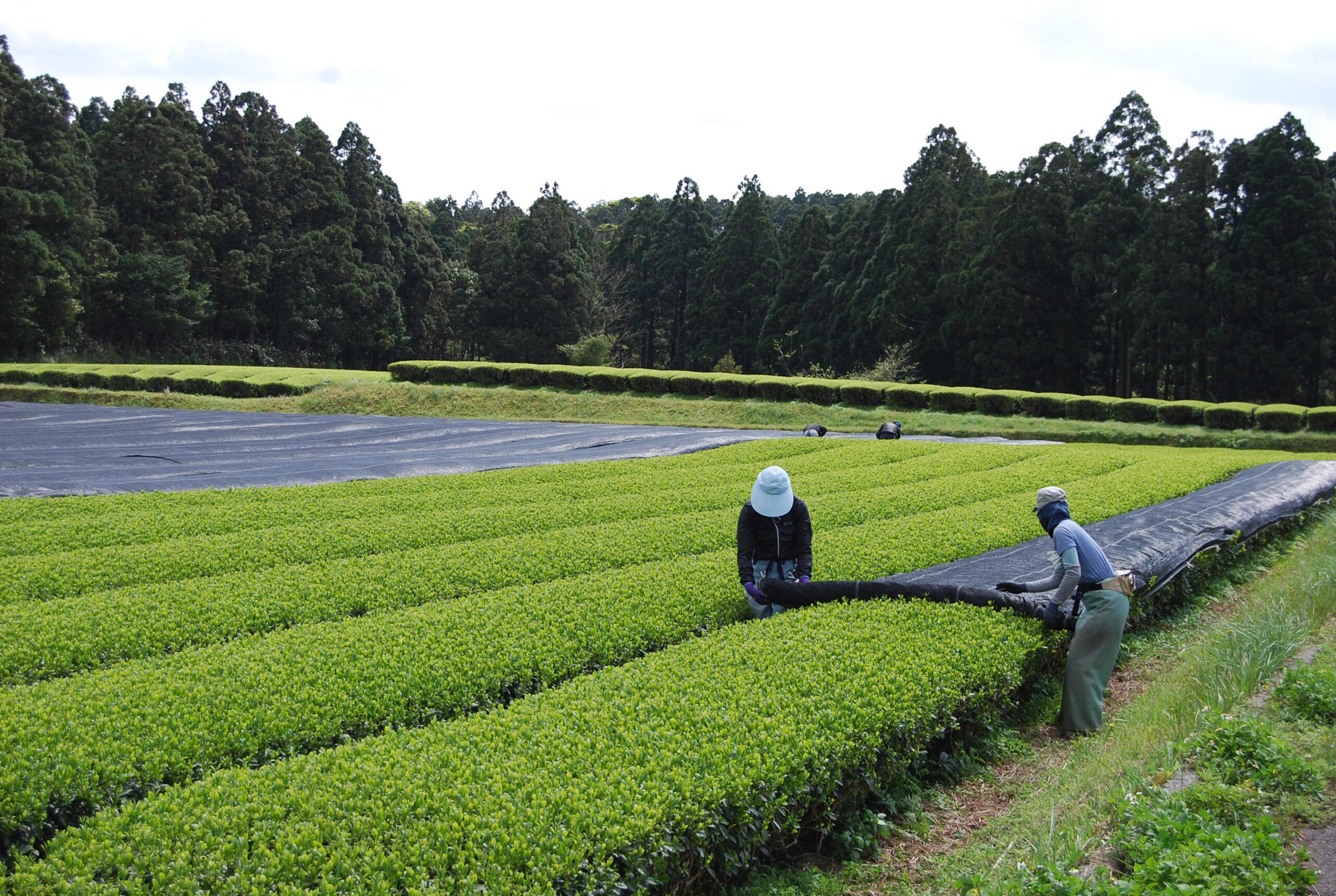 Beschattung der Teebüsche im Teegarten von Mankichi und Keita Watanabe 22.März 2021